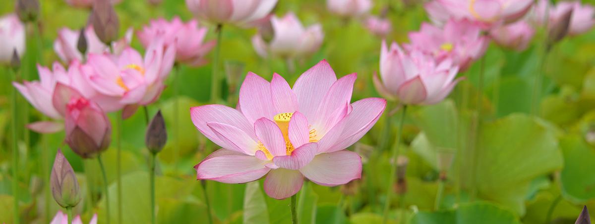 ヤマサ蓮の花苑